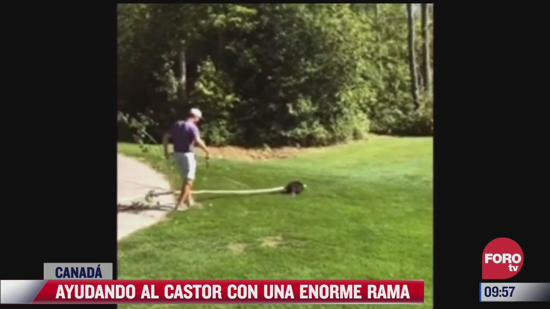 hombre ayuda a castor a cargar una enorme rama