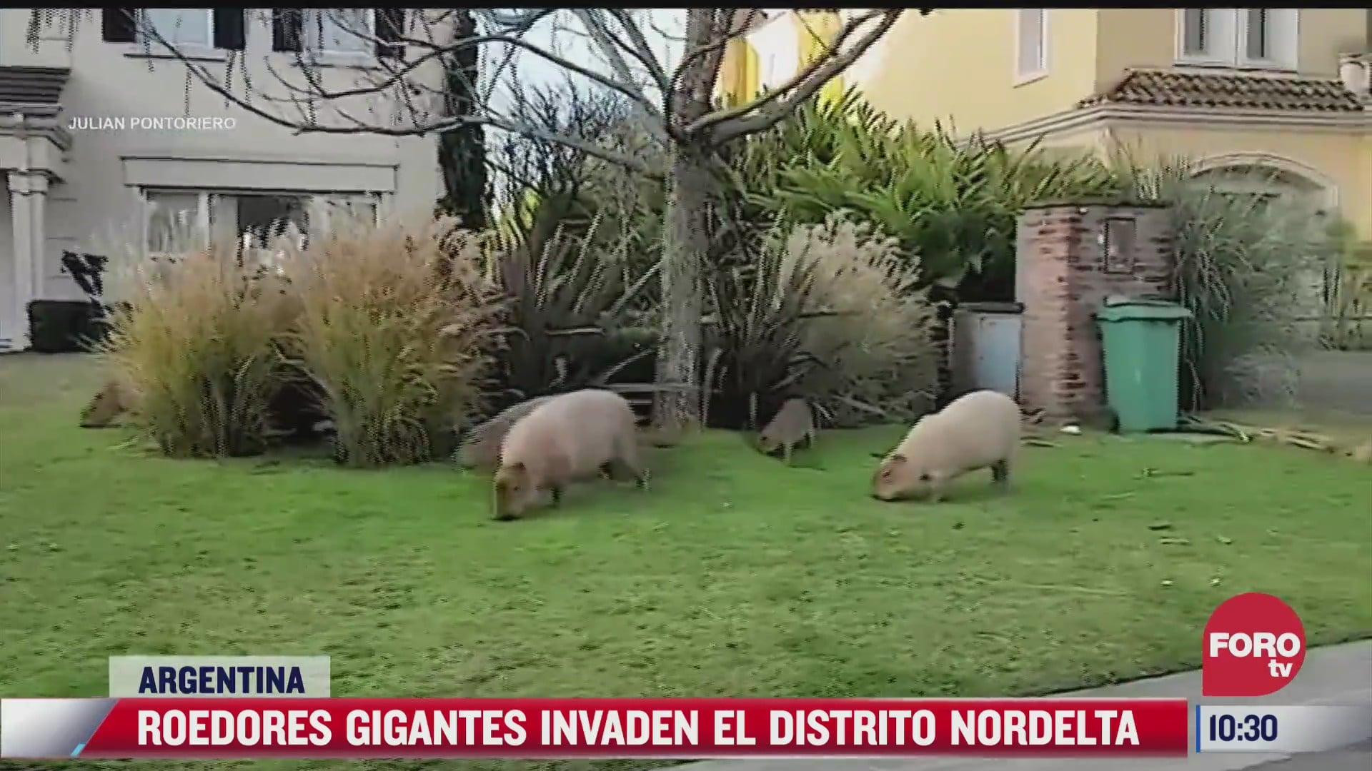la invasion de los capibara rompen jardines y vagan por las calles