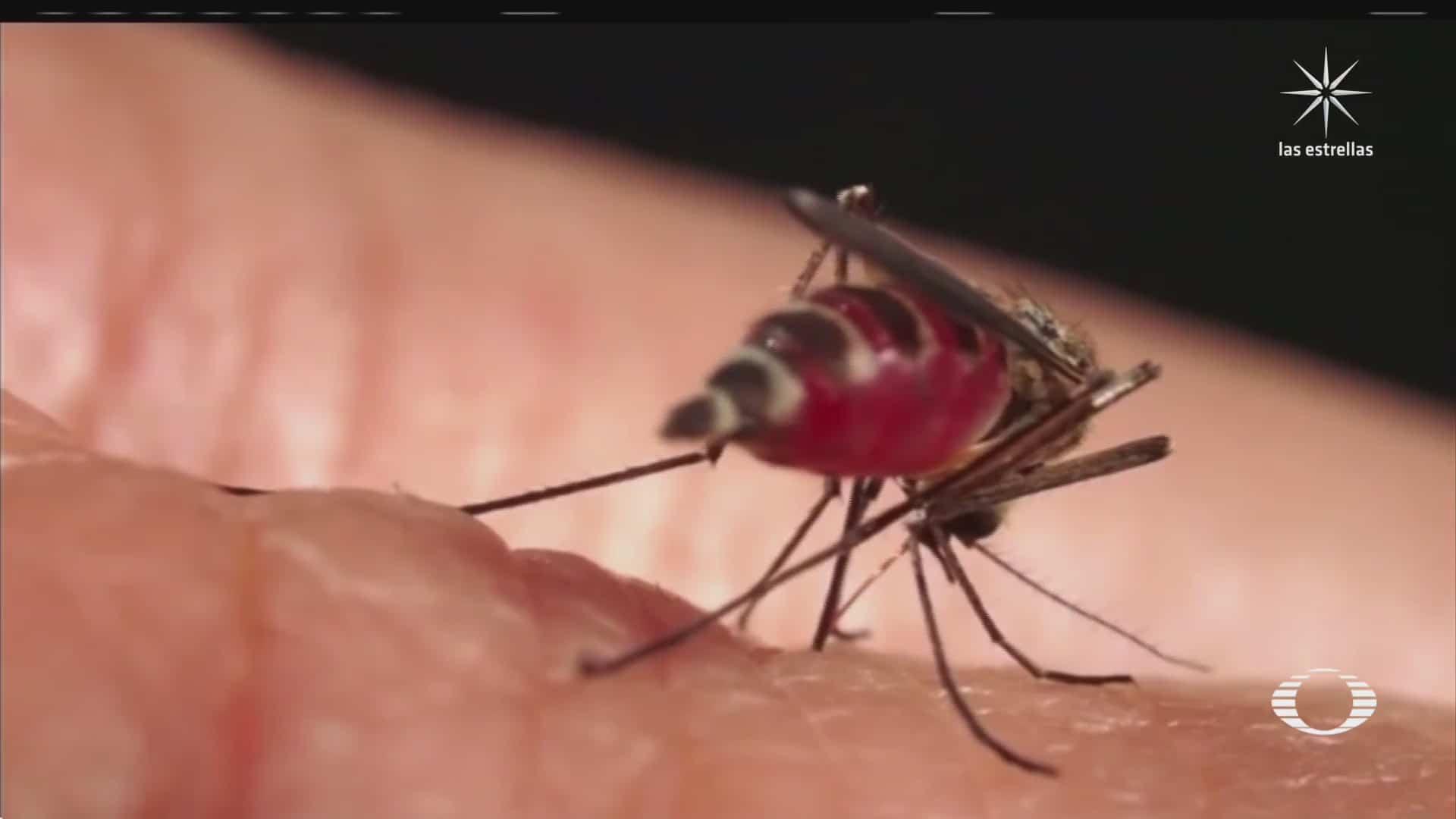 liberan millones de mosquitos aedes aegypti con bacteria que inhibe los virus