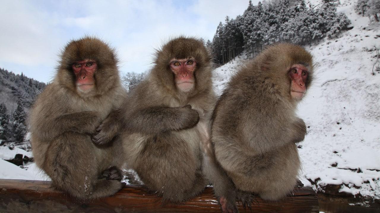 macaco japonés, primates, monos, Japón, santuario