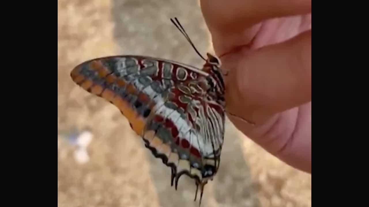 Mariposa bebe agua de la mano de un rescatista