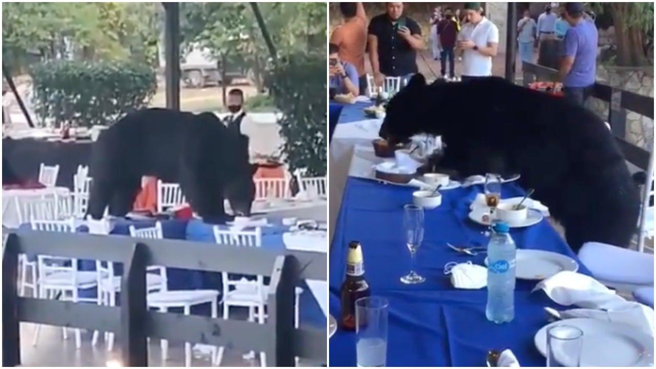 Oso aparece en banquete en Chipinque Nuevo León y toma comida videos