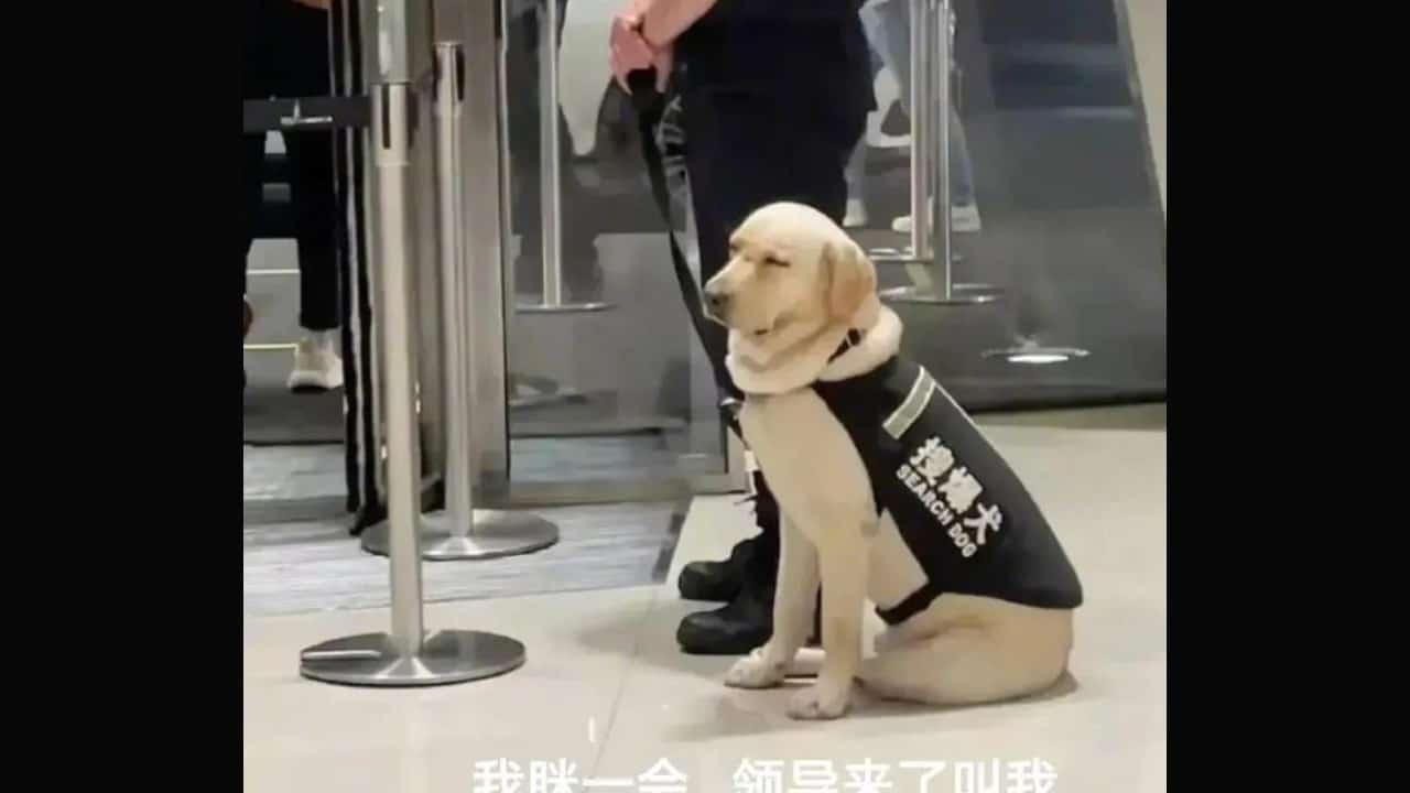 Perro de seguridad se queda dormido en el trabajo