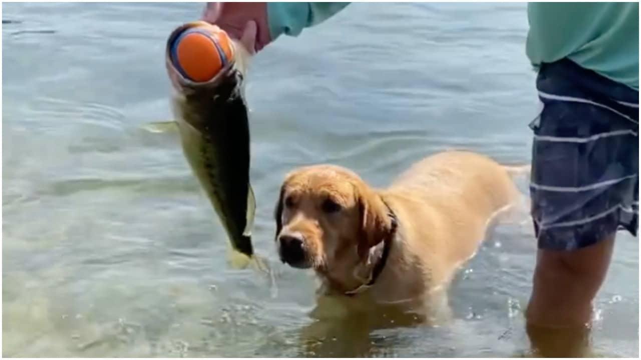 Pescado atrapa pelota de perro y video se hace viral en redes