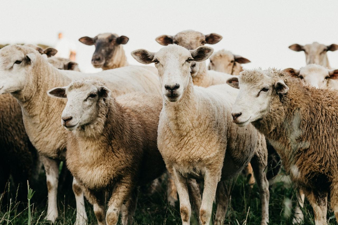 530 ovejas fallecieron por un rayo en Georgia