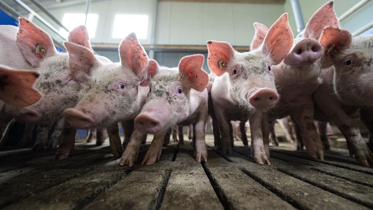 Crianza de ganado porcino (Getty Images)