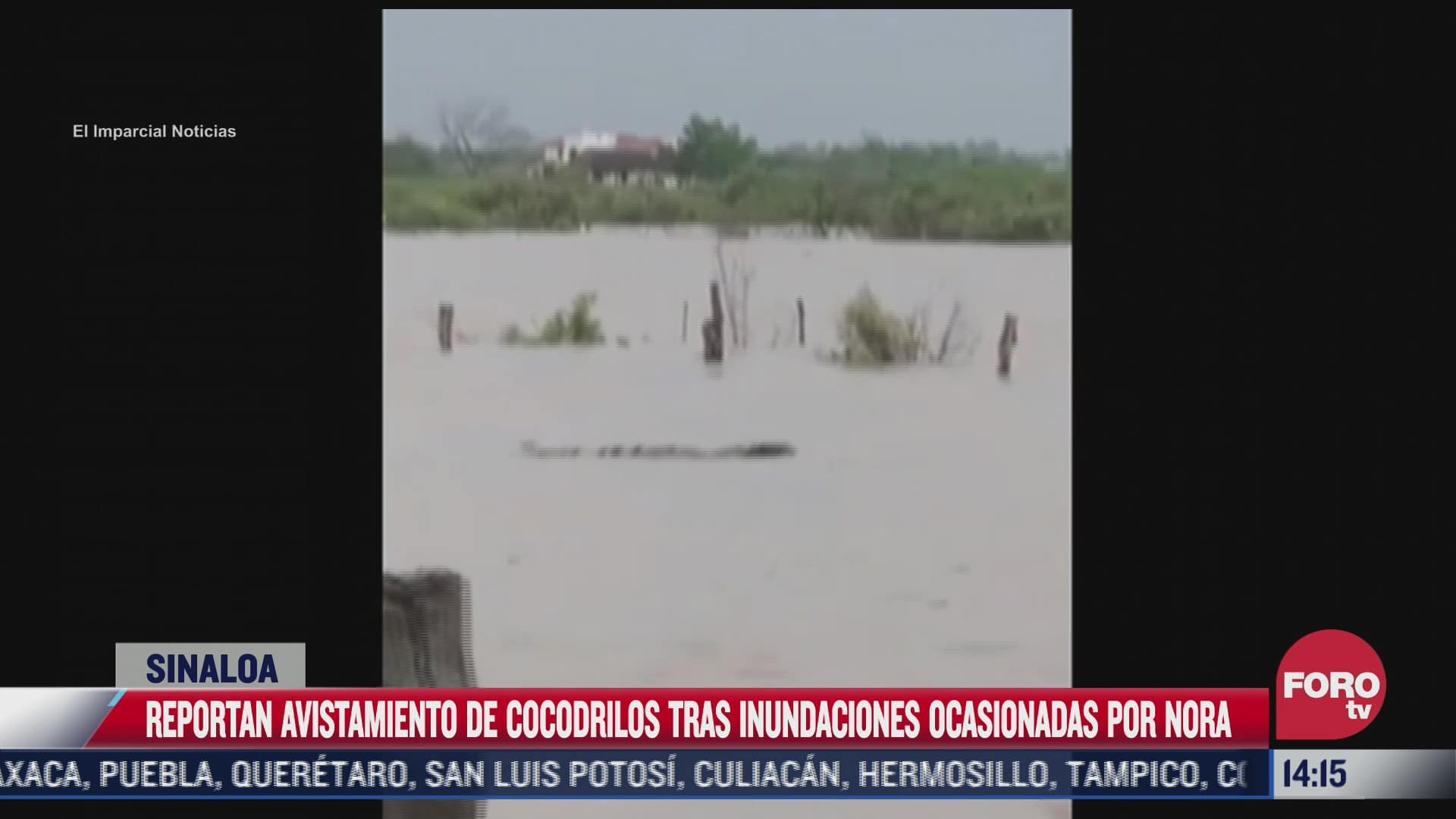 reportan avistamiento de cocodrilos tras inundaciones ocasionadas por nora en sinaloa