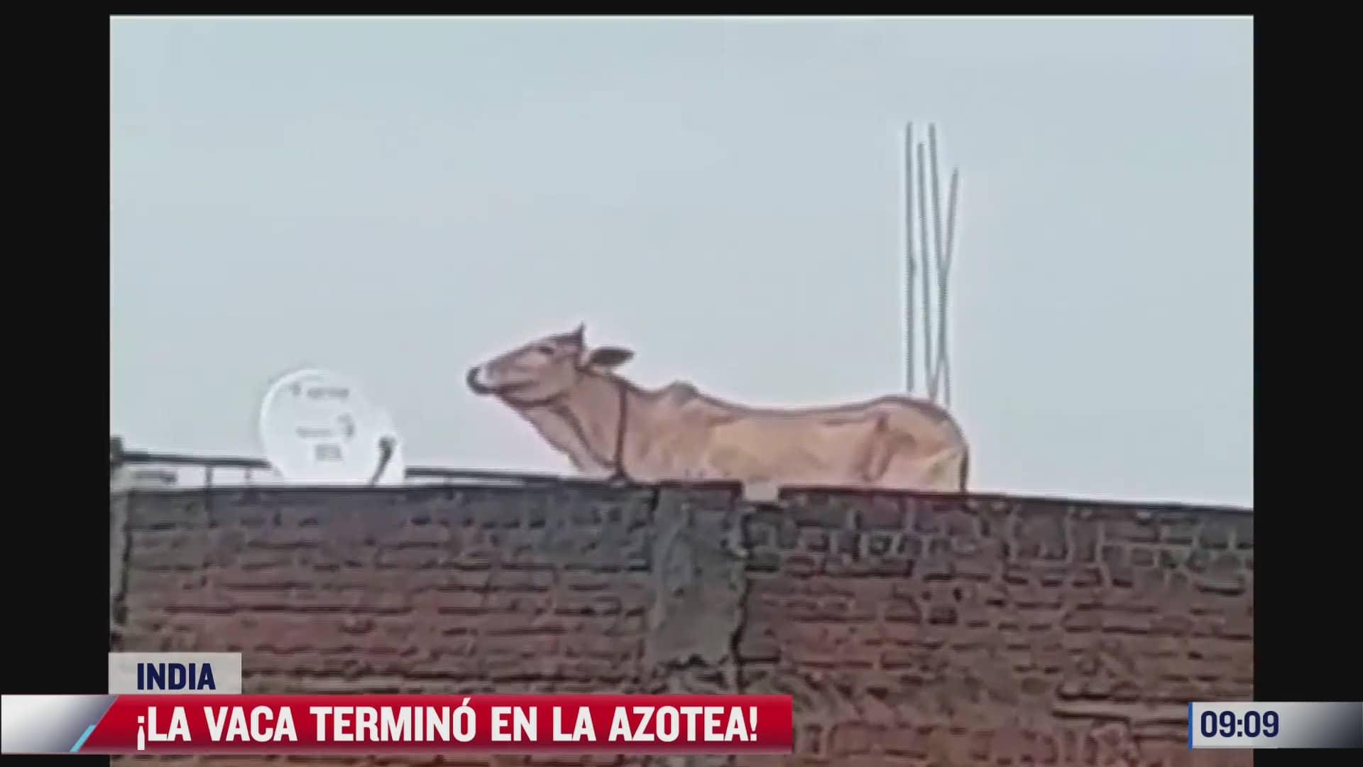 vaca en busca de comida termina en la azotea