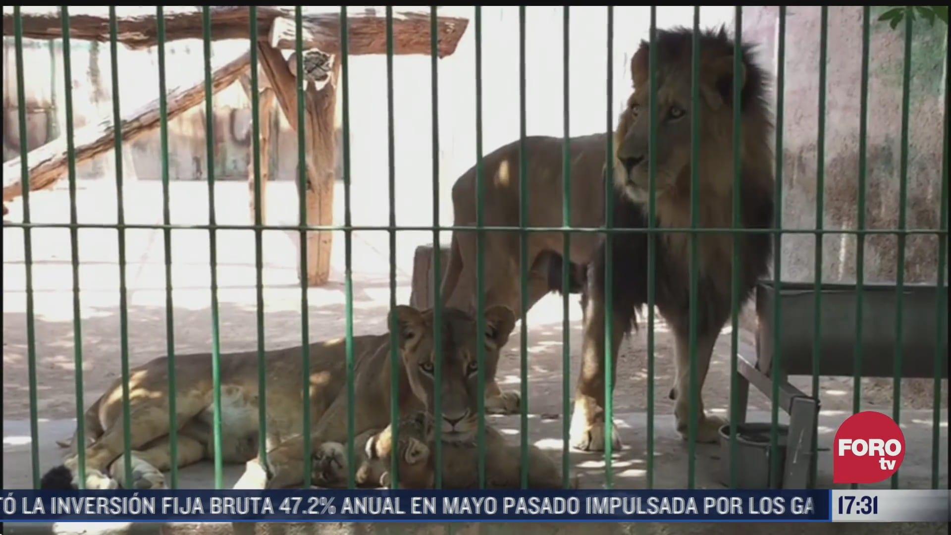 zoologico de queretaro busca nombre para dos cachorras de leon