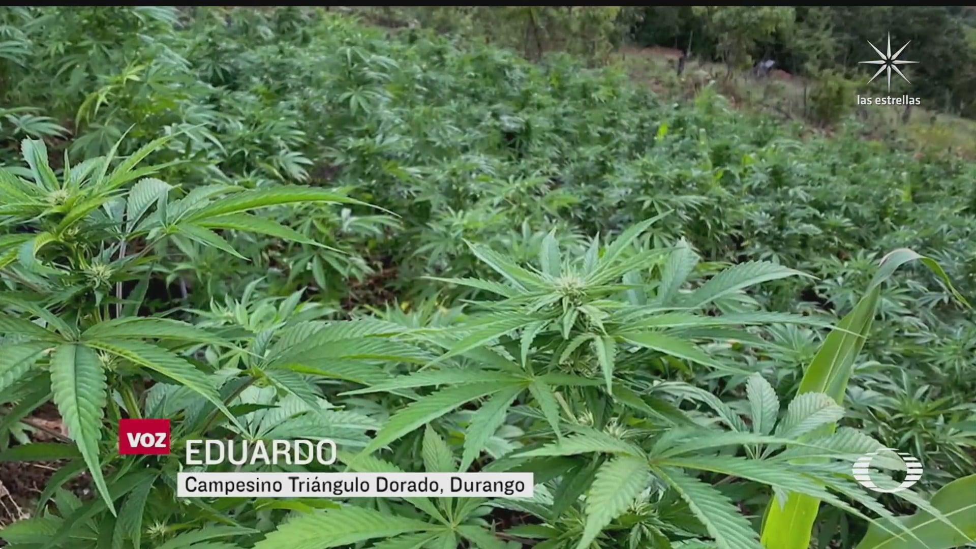 campesinos tiran mariguana ante la baja de precios