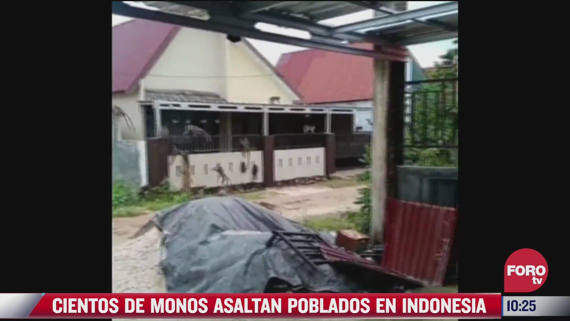 cientos de monos asaltan casas en busca de comida