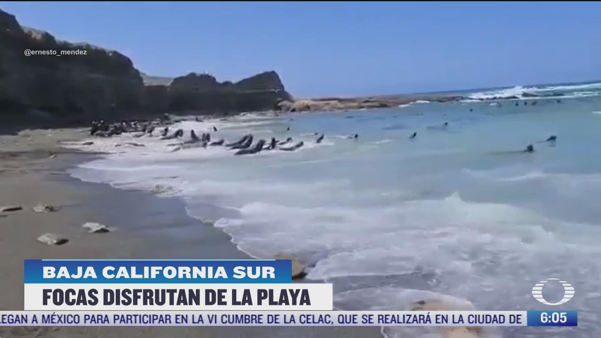 decenas de focas y leones marinos invaden playa en baja california sur