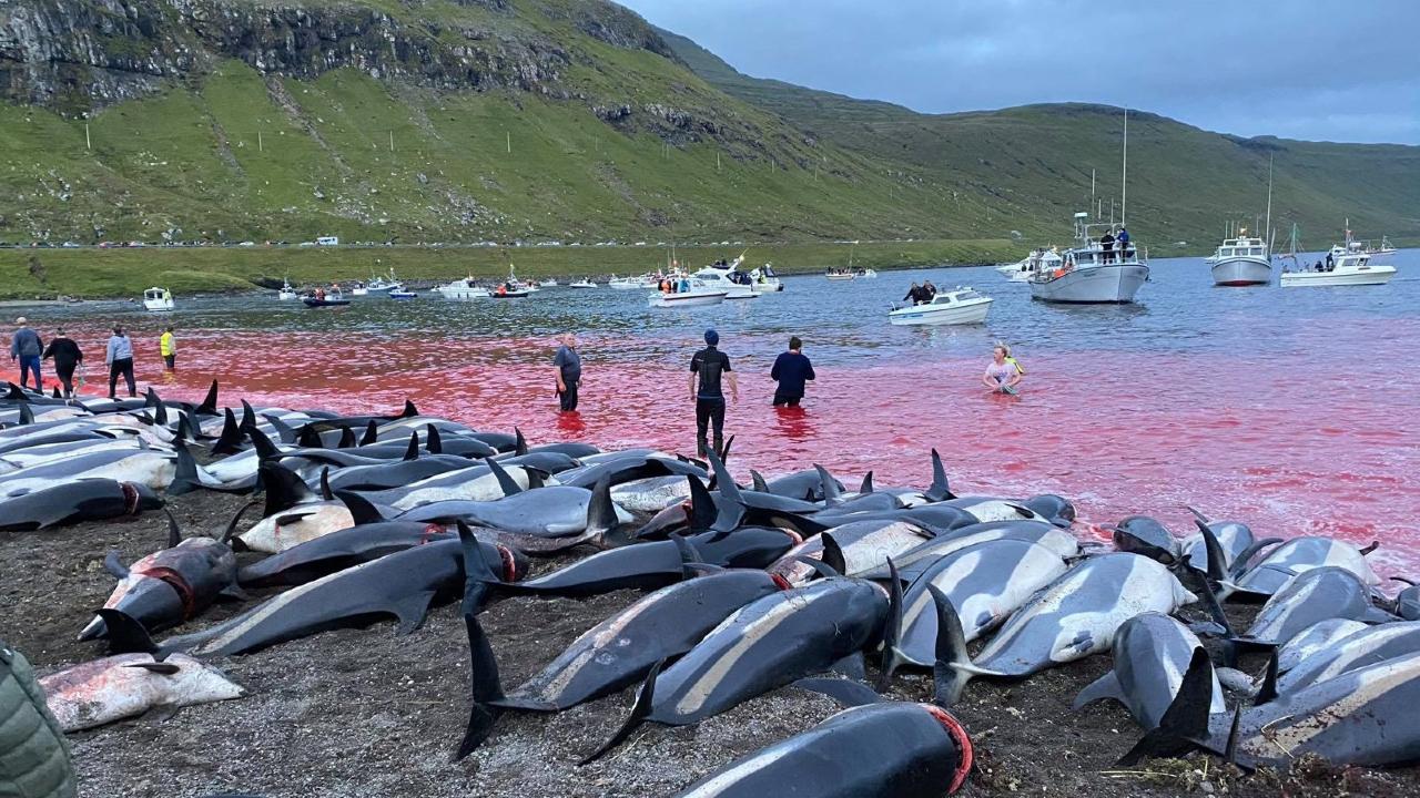 Matan más de 1,400 delfines en un día por caza tradicional en las islas Feroe