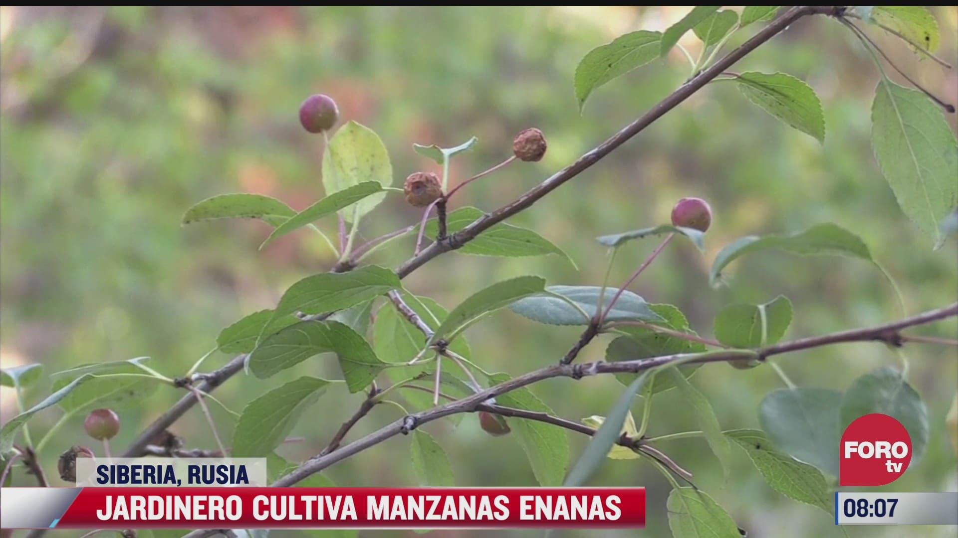 jardinero cultiva manzanas enanas en rusia