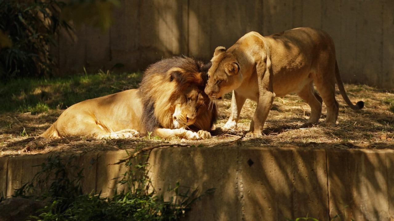 Leones en el zoológico de Washington