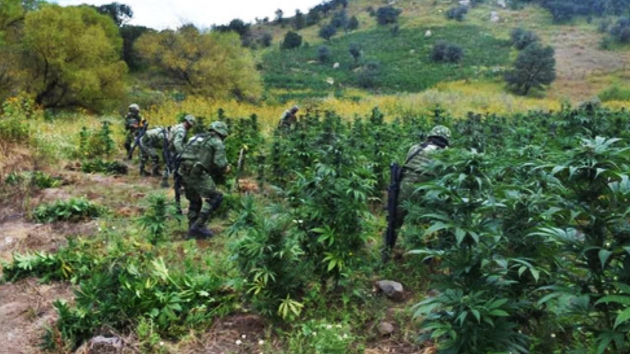 Soldados hallan finca de marihuana de 17 hectáreas cerca de la Barranca del Cobre, en Chihuahua