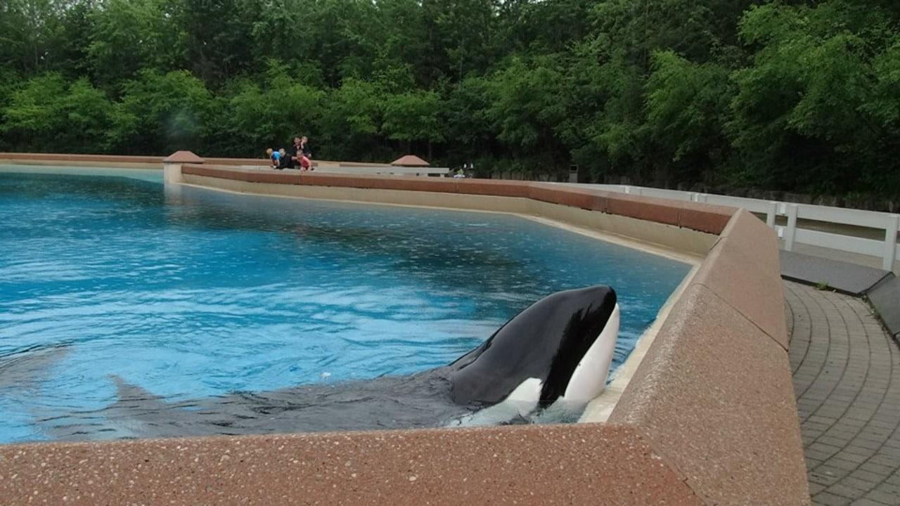 Orca Kiska es captada mientras se pega contra su tanque y videos se hacen virales
