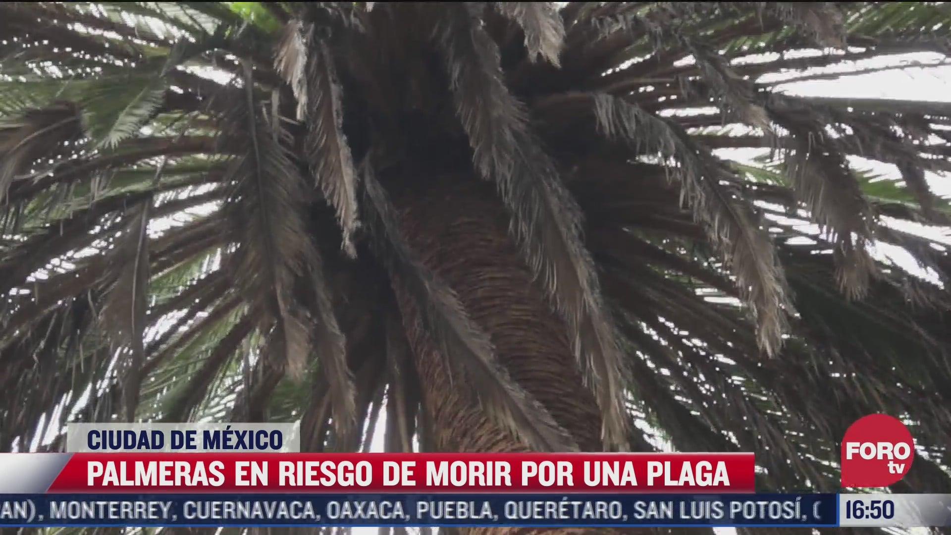 palmeras en cdmx estan riesgo de morir por plaga advierten