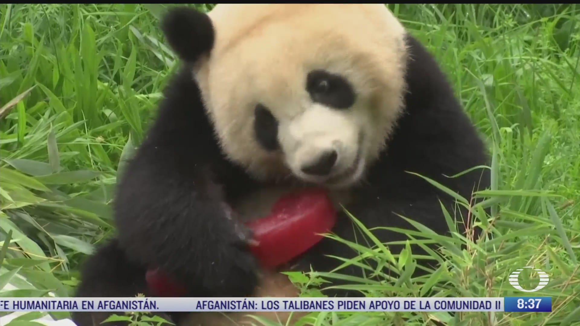 pandas celebran su cumpleanos con un picnic