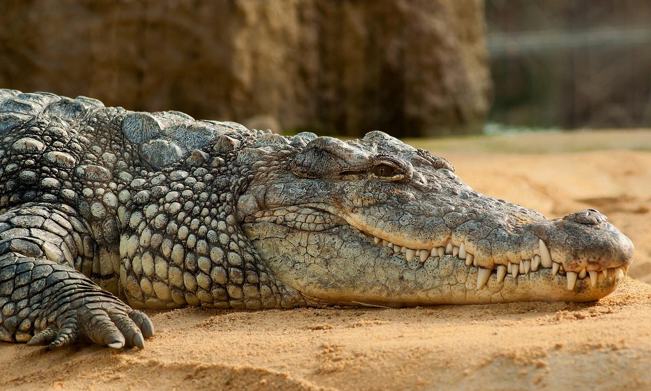 Hallan flecha antigua en estómago de cocodrilo