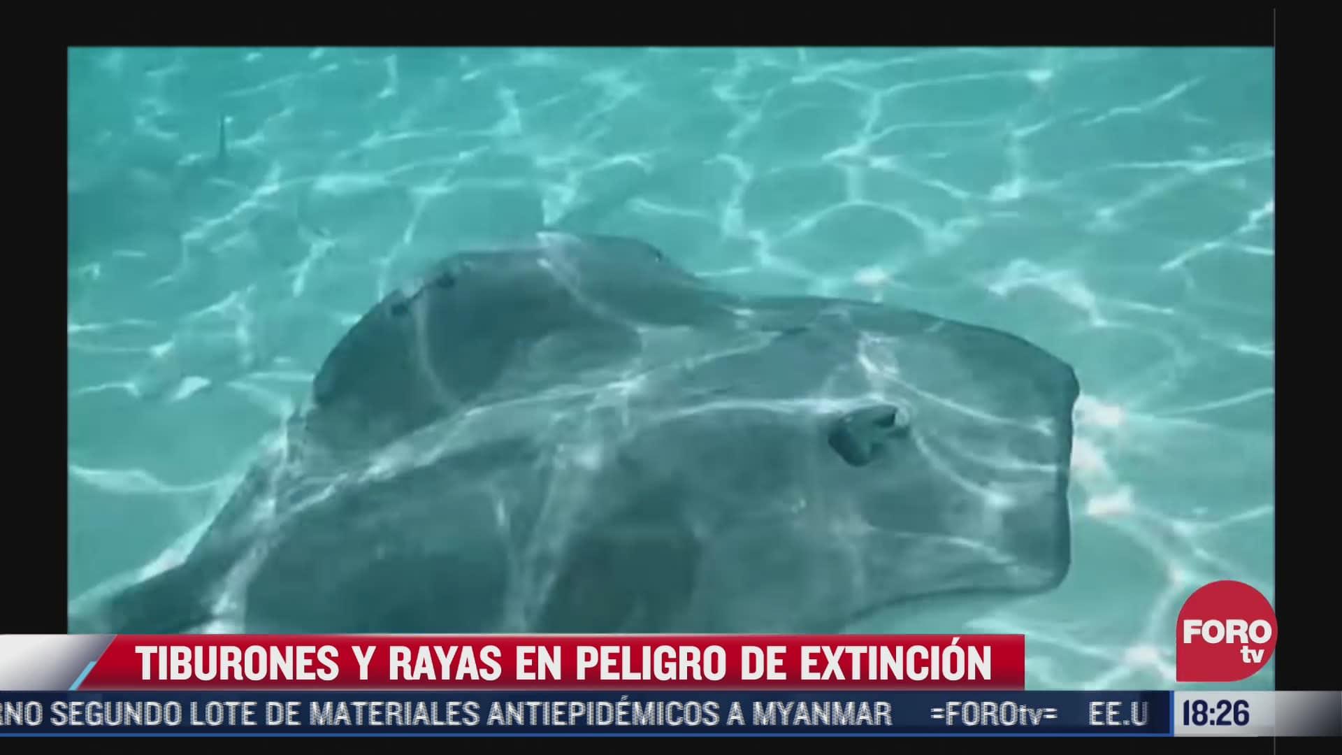 tiburones y rayas en peligro de extincion