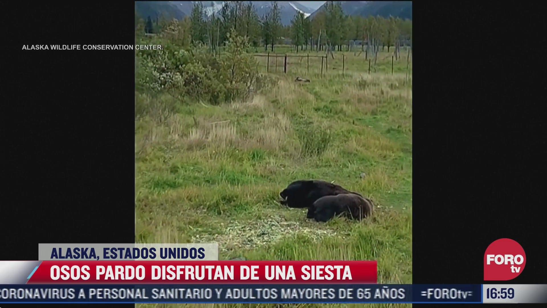 video captan a osos tomando una siesta en alaska
