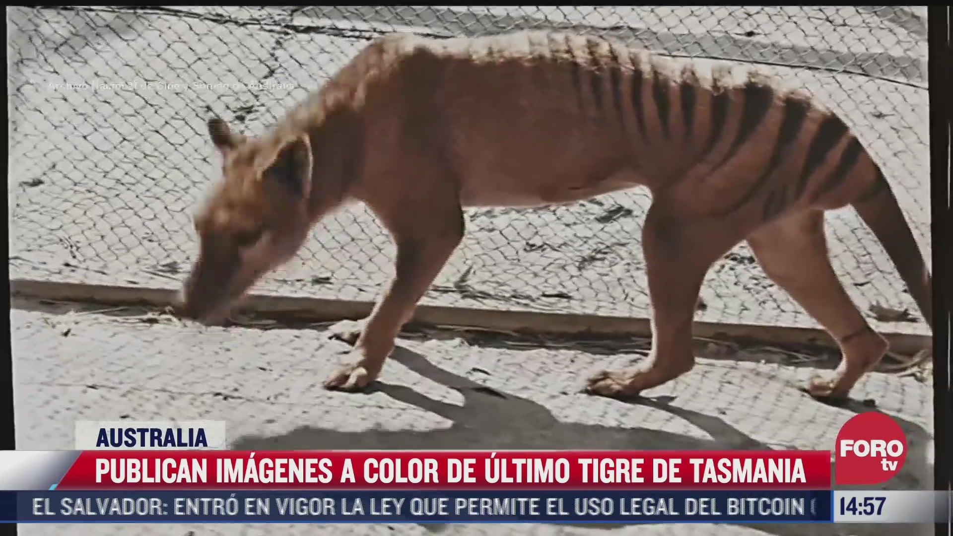 video difunden imagenes ineditas a color del ultimo tigre de tasmania