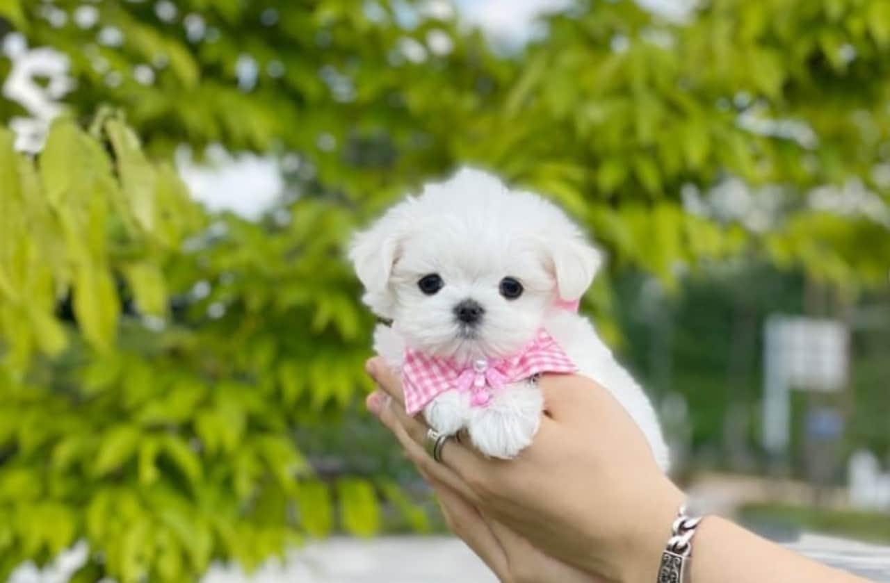 Perros mini toy: por esta razón no deberías comprar uno