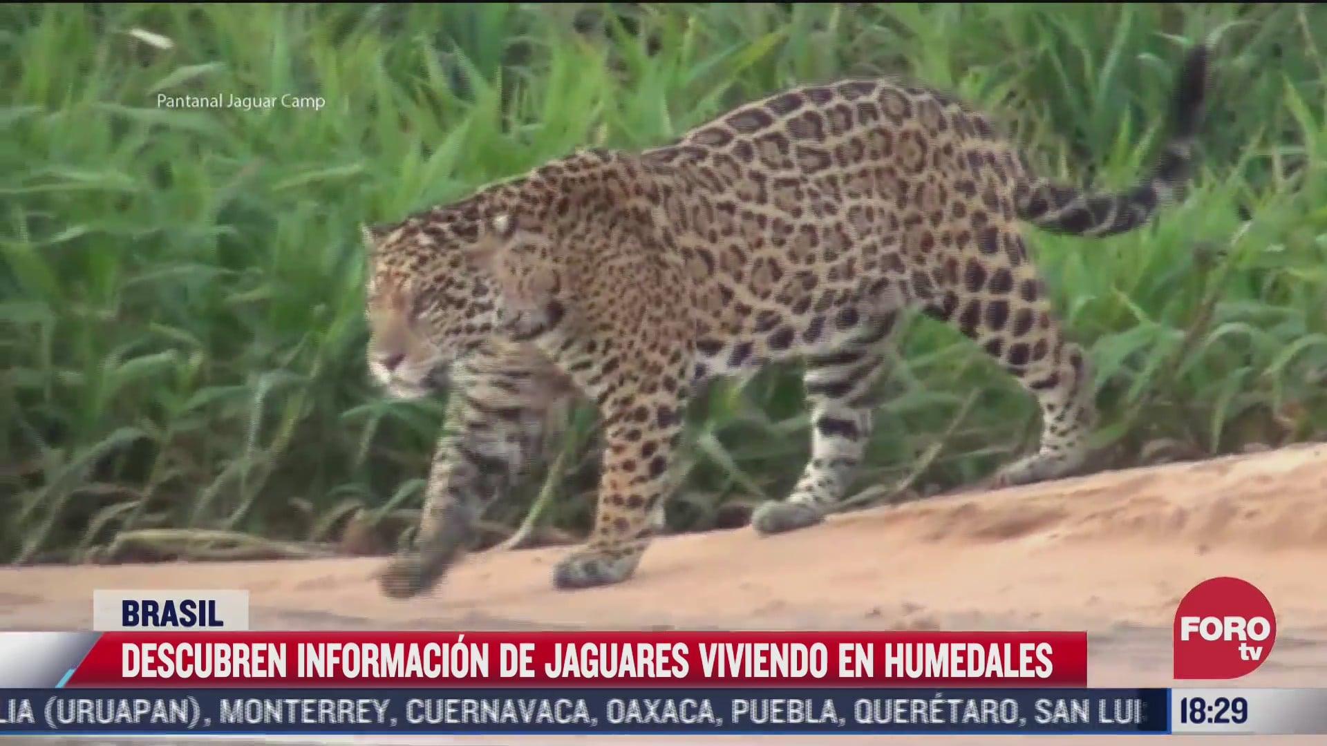 asi son los jaguares pesqueros que habitan en los humedales de brasil