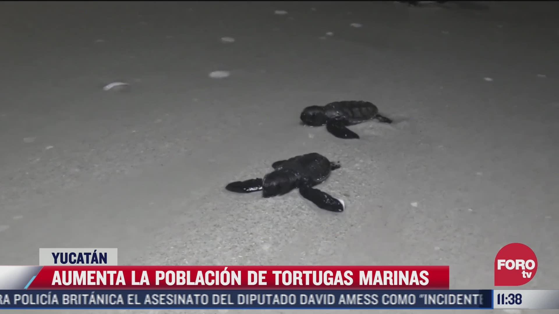 aumenta la poblacion de tortugas marinas en yucatan
