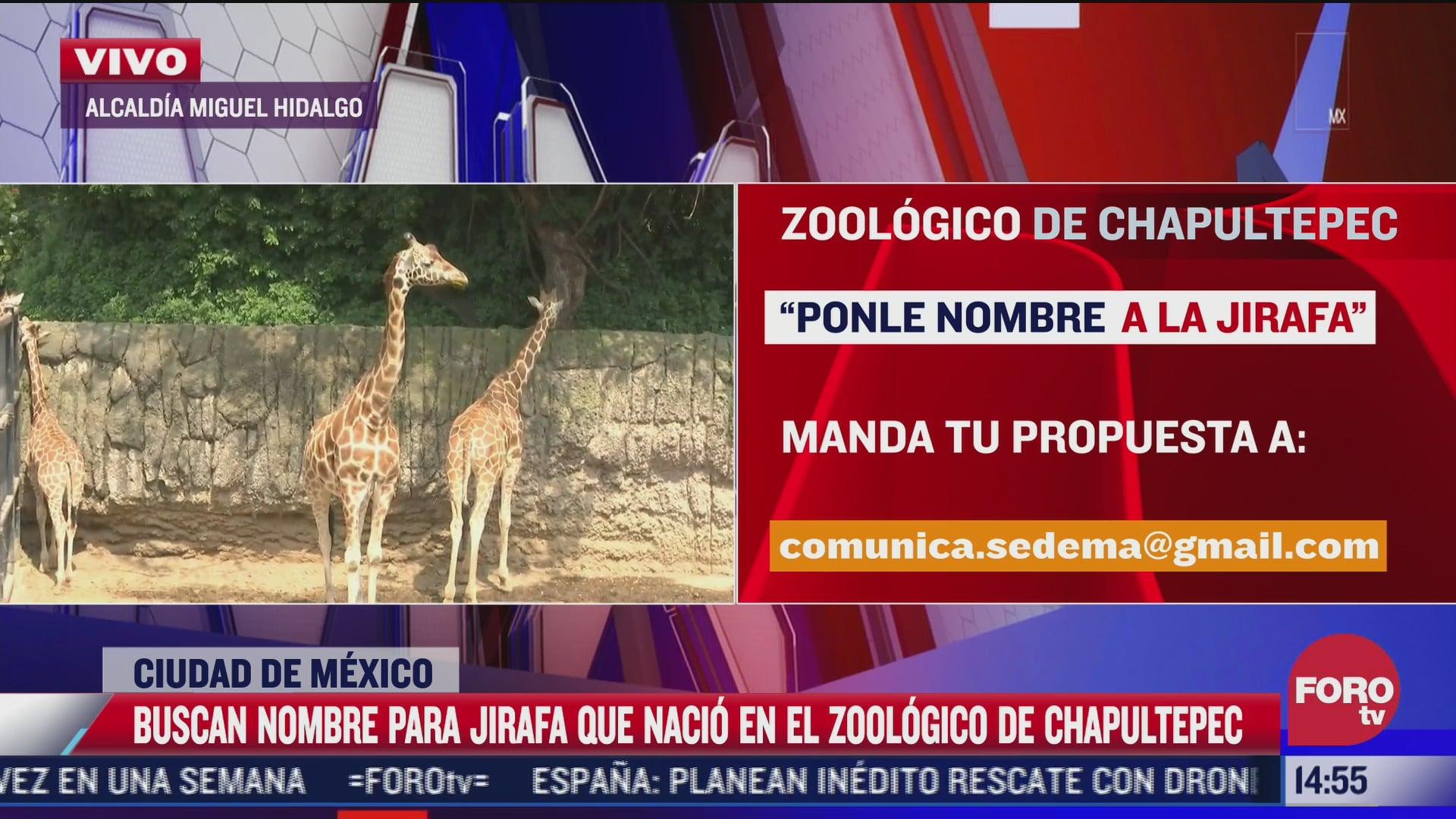 buscan nombre para jirafa bebe del zoologico de chapultepec