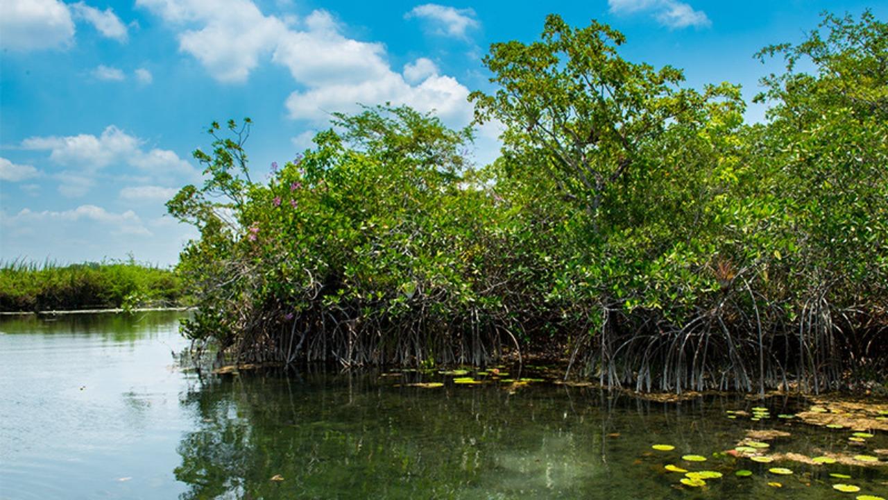 Bosque de manglares descubierto en la Península de Yucatán
