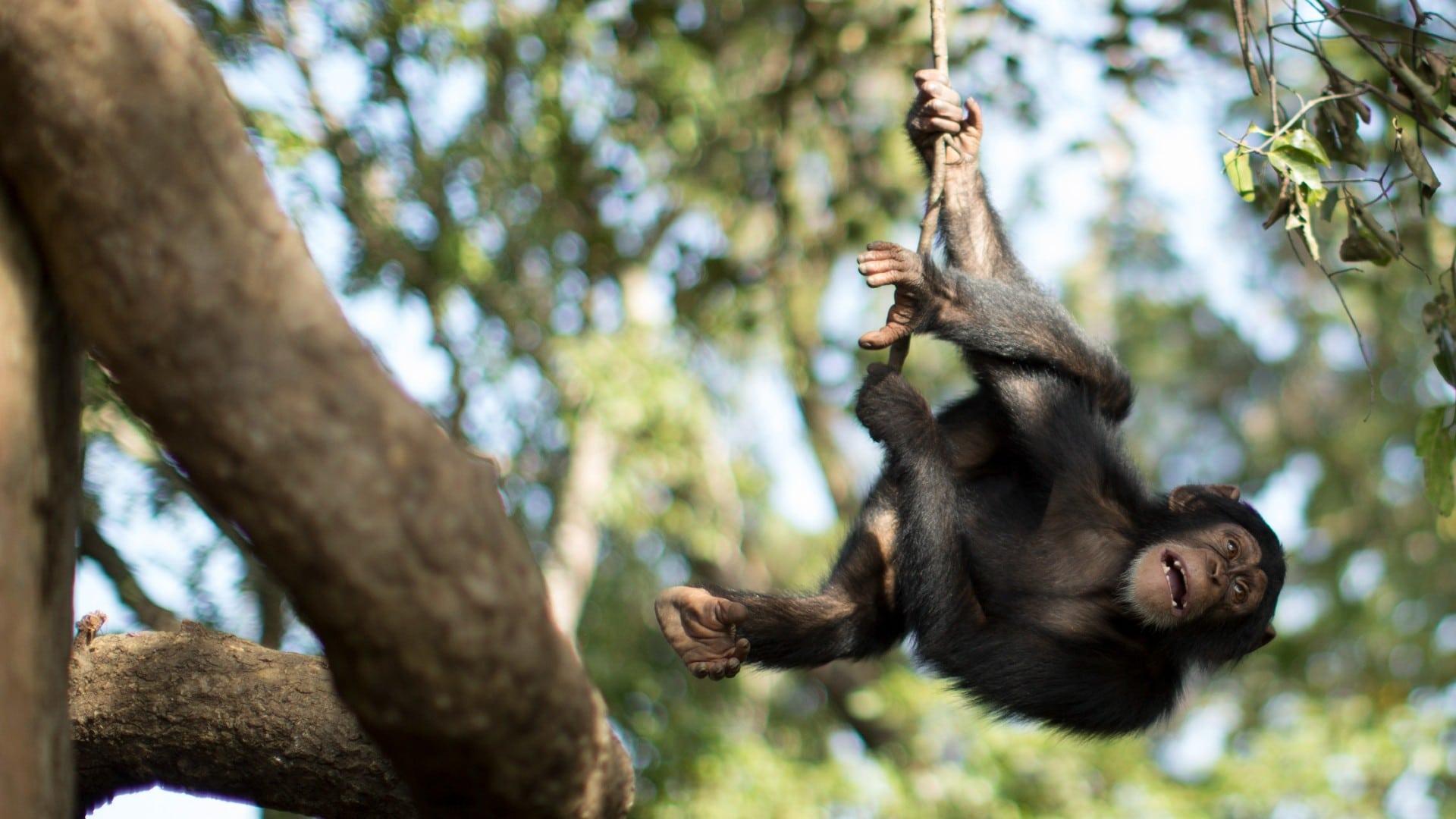 Detectan casos de lepra en chimpancés salvajes
