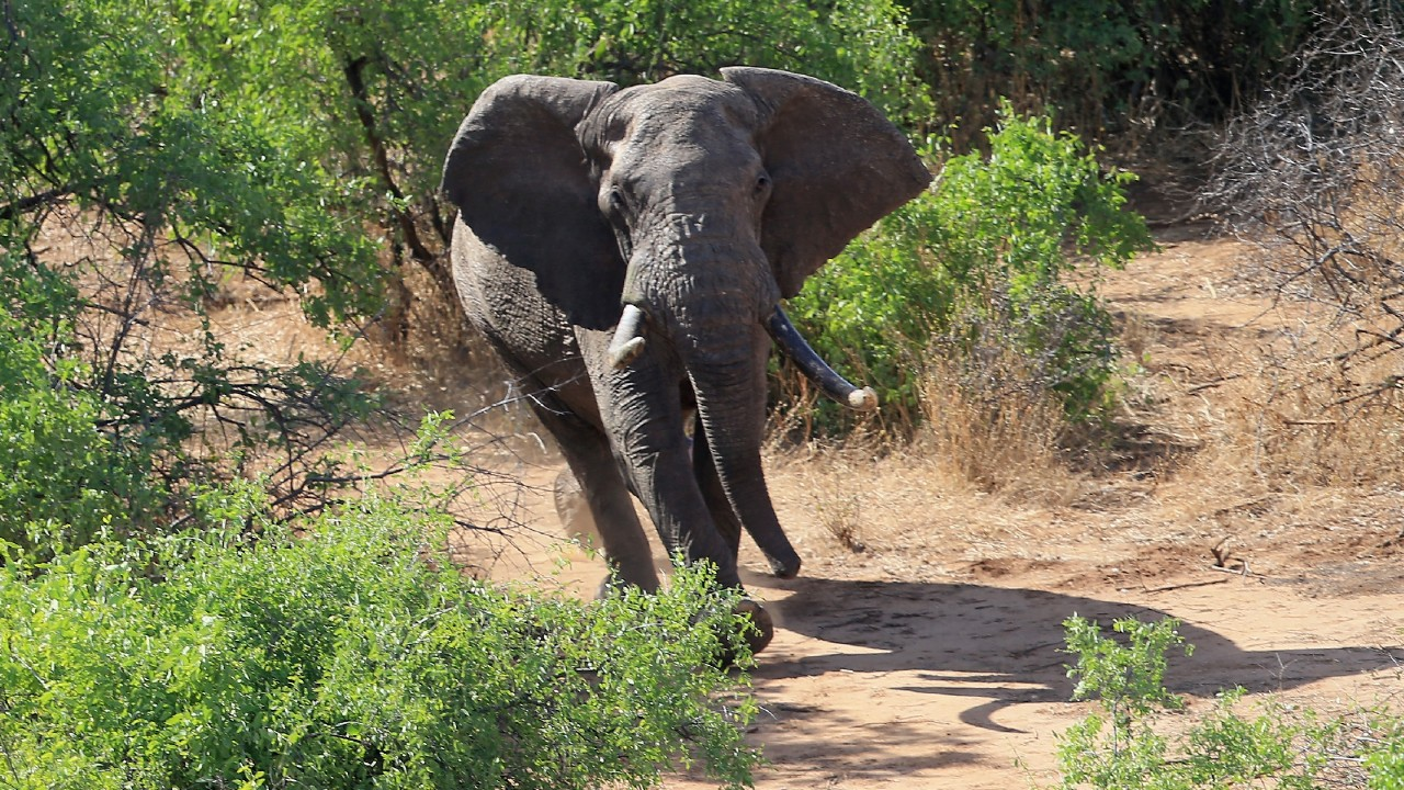 Elefanta mata a turista sudafricano en Zimbabue
