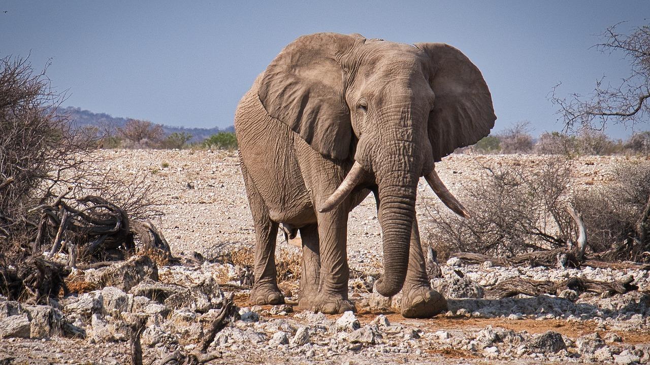 Elefante mata a cazador furtivo en Sudáfrica