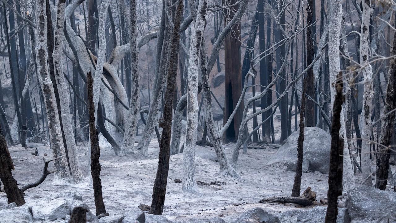 Un bosque parece en una escena de invierno a raíz de las llamas de un incendio forestal que arrasó con numerosas arboledas (Getty Images)