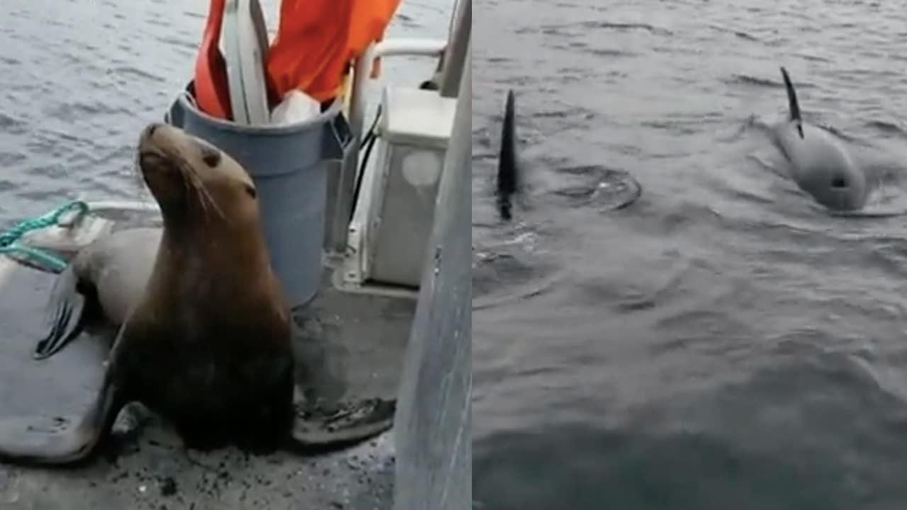 Orcas León marino barco video