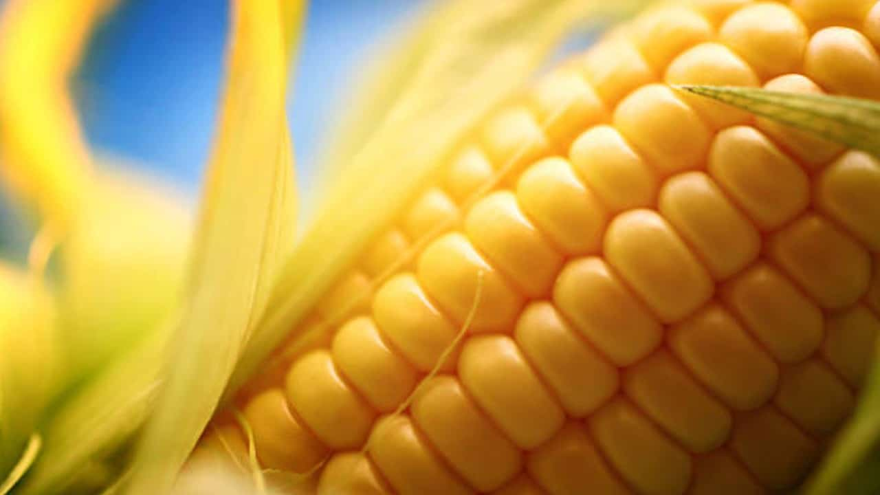 SCJN dice 'no' a la siembra de maíz transgénico en México