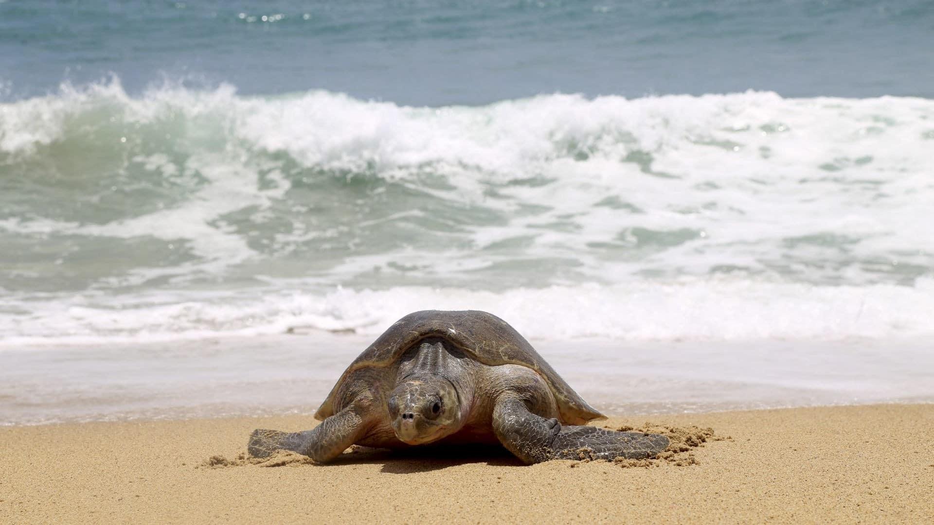 Miles de tortugas golfinas llegan a playa de Michoacán para desovar