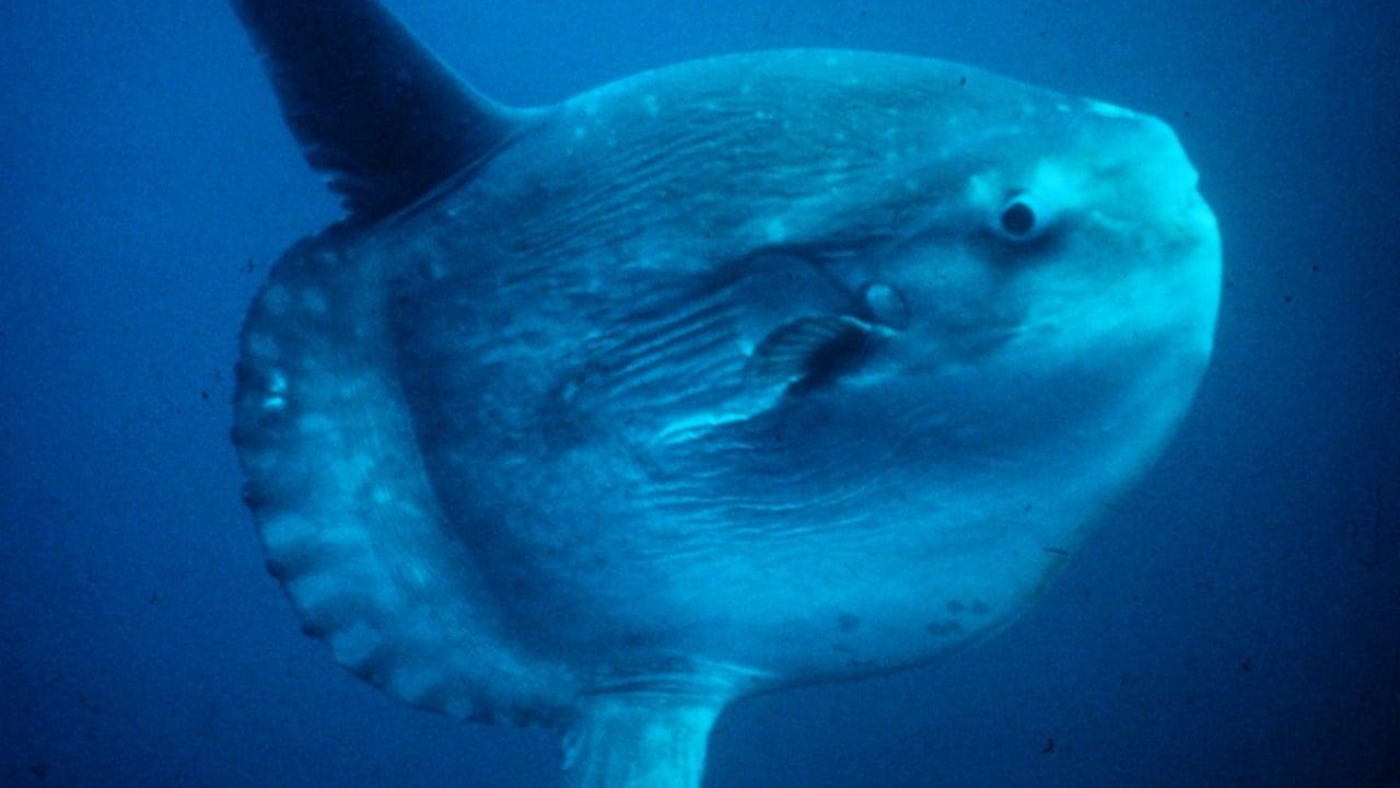 Pescadores de la almadraba de Ceuta en España capturaron a un pez luna de más de una tonelada