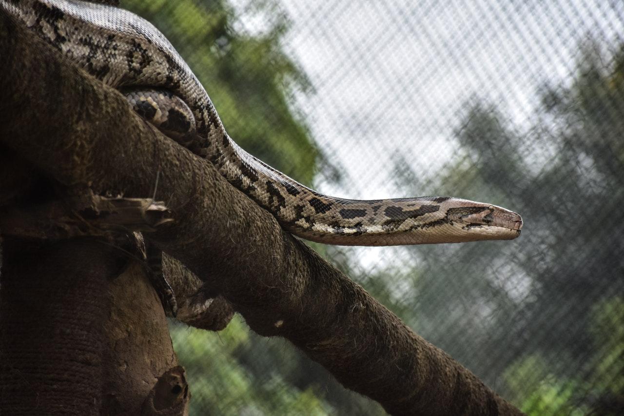 Encuentran serpiente gigante y la levantan con grúa: Video