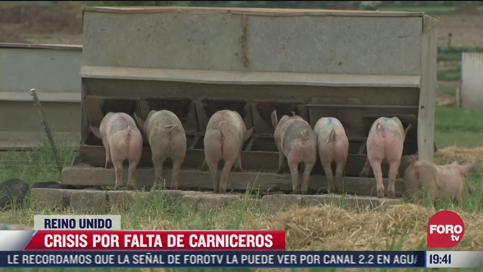 por falta de carniceros sacrificaran a miles de cerdos en reino unido