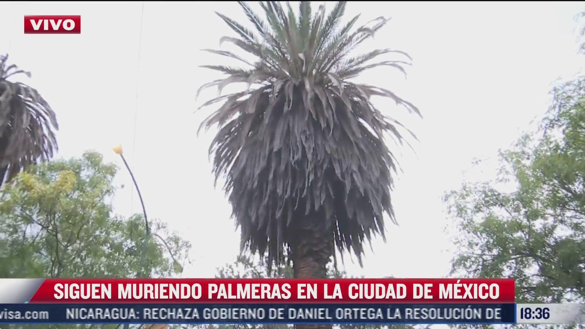 retiran emblematicas palmeras de polanco afectadas por plagas
