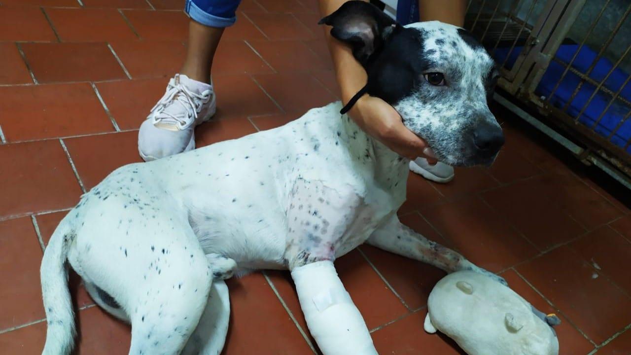 Operan con éxito a 'Temo', un perrito que fue hallado en las vías del Metro con una pata fracturada